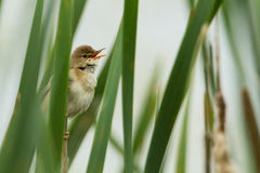 Marsh Warbler Stock Photography