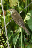 Marsh Warbler, Acrocephalus palustris Stock Photos