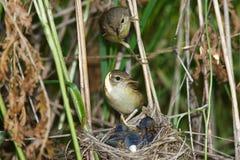 Marsh Warbler, Acrocephalus palustris Stock Photos