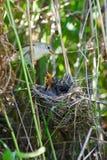 Marsh Warbler, Acrocephalus palustris Royalty Free Stock Images