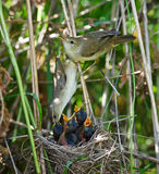 Marsh Warbler, Acrocephalus palustris Stock Photo