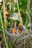 Marsh Warbler, Acrocephalus palustris Royalty Free Stock Photos
