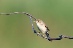 Marsh Warbler (Acrocephalus palustris) Lizenzfreie Stockfotografie