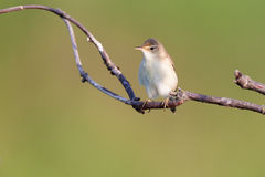 Marsh Warbler (Acrocephalus palustris) Lizenzfreie Stockfotos