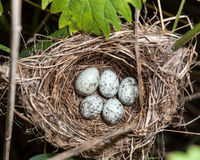 Marsh Warbler (Acrocephalus palustris) Stockfotografie