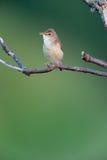 Marsh Warbler (Acrocephalus palustris) Lizenzfreie Stockbilder
