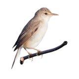 Marsh Warbler (Acrocephalus palustris) Royalty Free Stock Image