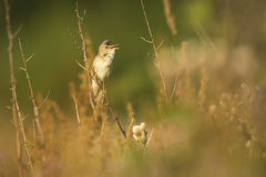 Marsh warbler Acrocephalus palustris singing bird Stock Images