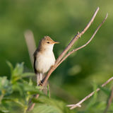 Marsh Warbler (Acrocephalus palustris) Royalty Free Stock Photos