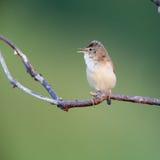 Marsh Warbler (Acrocephalus palustris) Stock Image