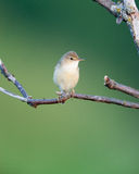 Marsh Warbler (Acrocephalus palustris) Royalty Free Stock Photo