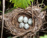 Marsh Warbler (Acrocephalus palustris) Stock Photography