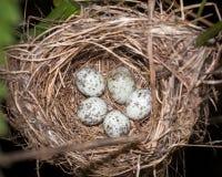 Marsh Warbler (Acrocephalus palustris) Royalty Free Stock Photography
