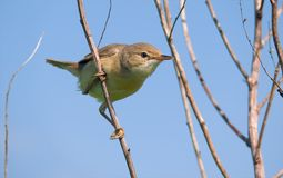 Marsh Warbler perched on tiny twigs with interested look stock photos