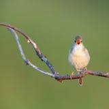 Marsh Warbler (palustris del Acrocephalus) Fotografia Stock