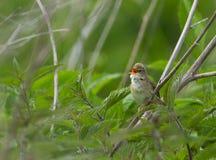 A Marsh warbler singing Royalty Free Stock Image