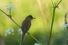 A Marsh warbler singing Royalty Free Stock Photos