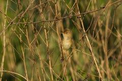 A Marsh warbler singing Stock Image