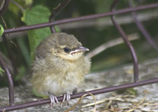 Marsh warbler. Sitting alone and waiting for parents Stock Photos