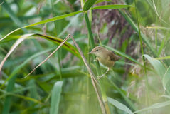 Marsh warbler Stock Image