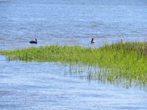 Pelicans floating in the marsh and wetlands along Shem Creek in Charleston, South Carolina royalty free stock images