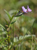 Marsh Willowherb Stock Images