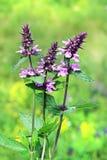 Marsh woundwort lat.Stachys palustris Royalty Free Stock Photos