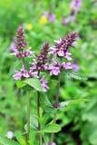 Marsh woundwort lat.Stachys palustris. Wild medicinal plants of Siberia Royalty Free Stock Images