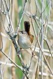 Marsh Wrein arkivfoton