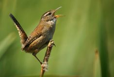 Marsh Wren Stock Image