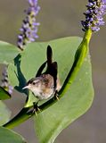 Marsh Wren Stock Photo