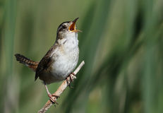Marsh Wren Royalty Free Stock Images
