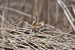 Marsh Wren Foto de archivo libre de regalías