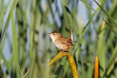 Marsh Wren Fotografie Stock