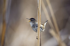 Marsh Wren Stock Photos