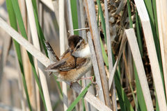 Marsh Wren, Cistothorus palustris. A small reddish marsh bird sits near its  domed nest in cattails in spring,Quebec,Canada Stock Images