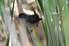 Marsh Wren, Cistothorus palustris Stock Images