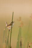 Marsh Wren, Cistothorus palustris Stock Images