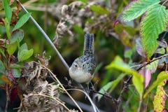 Marsh Wren, Cistothorus palustris stock photography