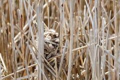 Marsh Wren nest Stock Photography