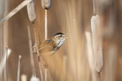 Marsh Wren Perched on a Cattail. Under a sunny afternoon in Northern Utah Stock Images