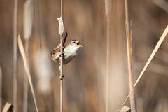 Marsh Wren Perched on a Cattail. Under a sunny afternoon in Northern Utah Stock Image