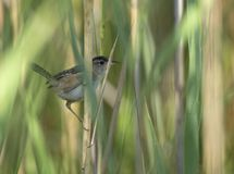 Marsh Wren perched in the reeds. A cute little shy Marsh Wren clinging to some reeds in a swamp Stock Photos