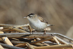 Marsh Wren On A Reed Stock Images