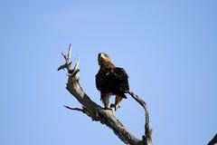 Marshall Eagle Stock Photo