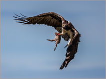 Marshall eagle predator. Mashall eagle capturing its prey in Kenya Stock Photography