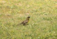 Marshbird Brown-et-jaune Image stock