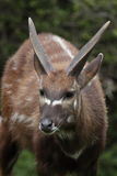 Marshbuck. The detail of marshbuck (Tragelaphus spekii Royalty Free Stock Photography