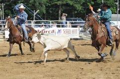 Marshfield, Massachusetts - 24 de junio de 2012: Dos vaqueros del rodeo que intentan Rope el buey del funcionamiento de A Foto de archivo libre de regalías