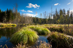 Marshland. Forest swamp, autumn marshland lanscape Royalty Free Stock Photos